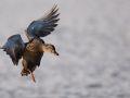 Cane colvert en vol (Anas platyrhynchos)
