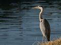 Héron cendré (Ardea cinerea) au bord du canal le matin