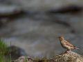 Moineau domestique femelle (Passer domesticus)