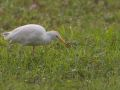 Héron gardeboeufs (Bubulcus ibis)