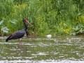 Cigogne noire (Ciconia nigra)