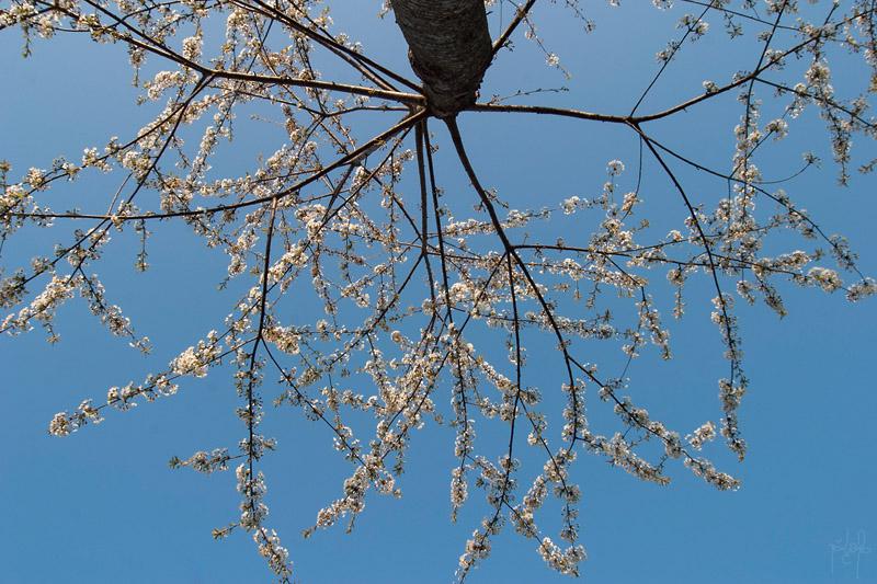 Houppier de merisier en fleur