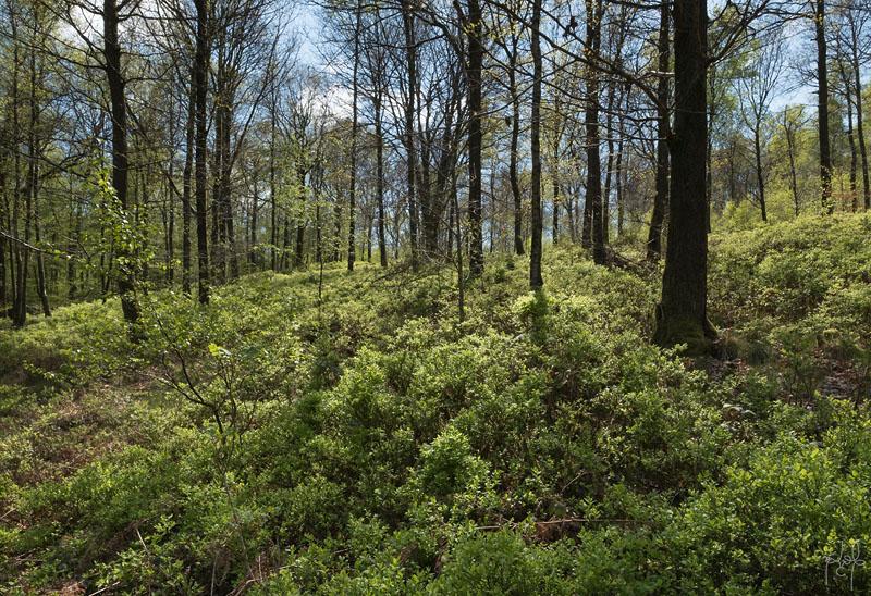 Jeune futaie de chêne et de bouleau sur versant. Station très acide d'Ardenne primaire au sous-bois riche en myrtille.