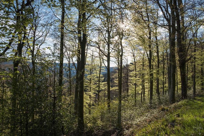 Hêtraie de versant au printemps dans les Vosges