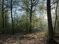 Souche d'un gros bois de chêne en futaie irrégulière à chêne dominant. Seul le sous-étage de charme a débourré.