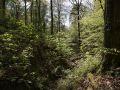 Gros hêtre en bordure de talweg creusé par un ruisseau dans le Bassigny.