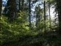 Sous-étage de hêtre au printemps sous une futaie adulte de sapin pectiné
