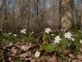 Anémone sylvie (Anemone nemorosa) en sous-bois