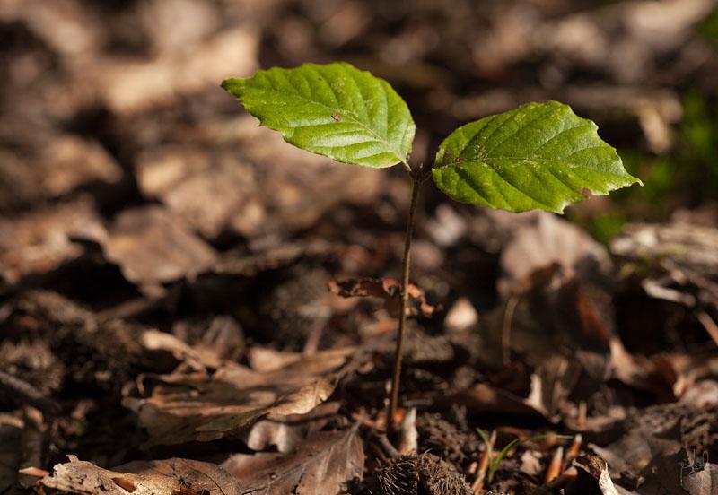 Semis de hêtre (Fagus sylvatica) en forêt domaniale de Verzy.