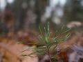 Semi de pin sylvestre sur station acide sur argiles à silex.
