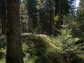 Semis de sapin pectiné dans une hêtraie-sapinière de moyenne montagne.