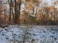 Semis de pin sylvestre sous la neige. Site des Faux de Verzy, Parc Naturel de la Montagne de Reims.