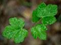 Semis d'érable sycomore après la pluie.