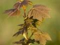 Semis d'érable sycomore dans la lumière de fin de journée.