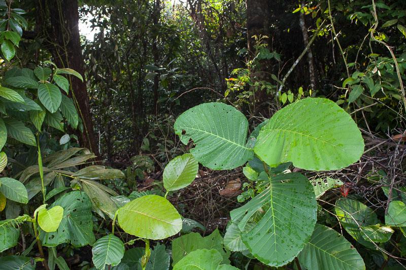 Grandes feuilles mouillées en sous-bois