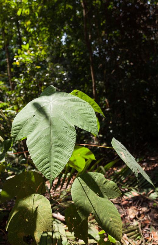 Semis à grandes feuilles en sous-bois