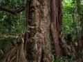 Gros bois avec ses épiphytes