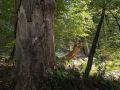 Très gros bois de chêne sec sur pied