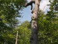 Gros chêne en fin de vie