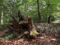 Chablis ancien de très gros bois