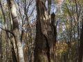 Chandelle d'un très gros bois de chêne dans une jeune hêtraie