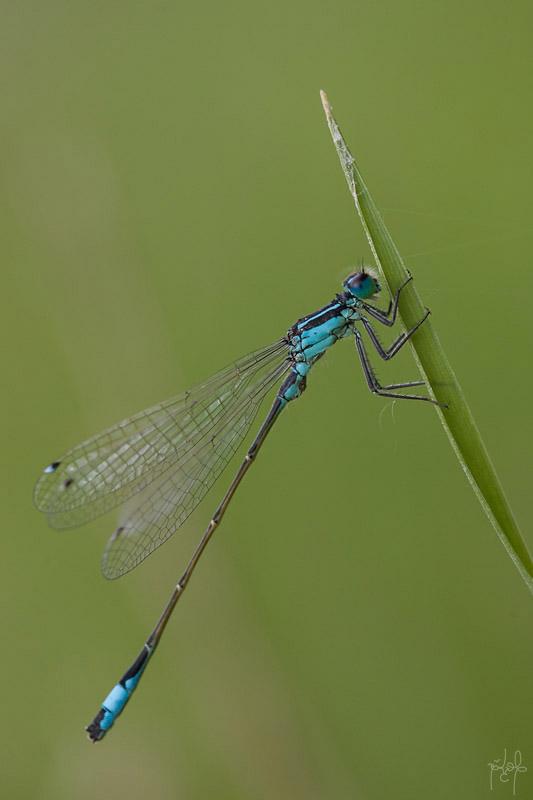 Ischnure élégante mâle (Ischnura elegans)