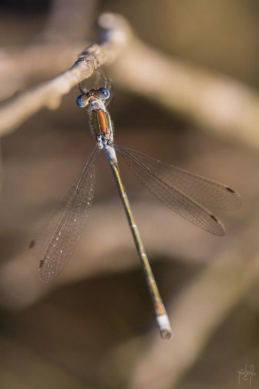 Leste fiancé mâle (Lestes sponsa)