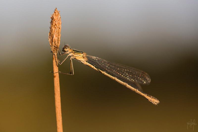 Leste fiancé femelle (Lestes sponsa)