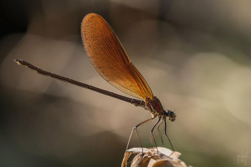 Calopterix hémorroïdal mâle