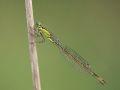 Agrion élégant femelle (Ischnura elegans)