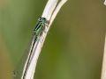 Agrion élégant mâle immature (Ischnura elegans)