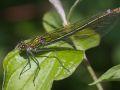 Calopteryx éclatant femelle (Calopteryx splendens)