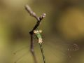 Leste verdoyant femelle (Lestes virens vestalis)