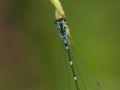 Agrion joli (Coenagrion pulchellum)