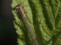 Agrion porte coupe femelle (Enallagma cyathigerum)